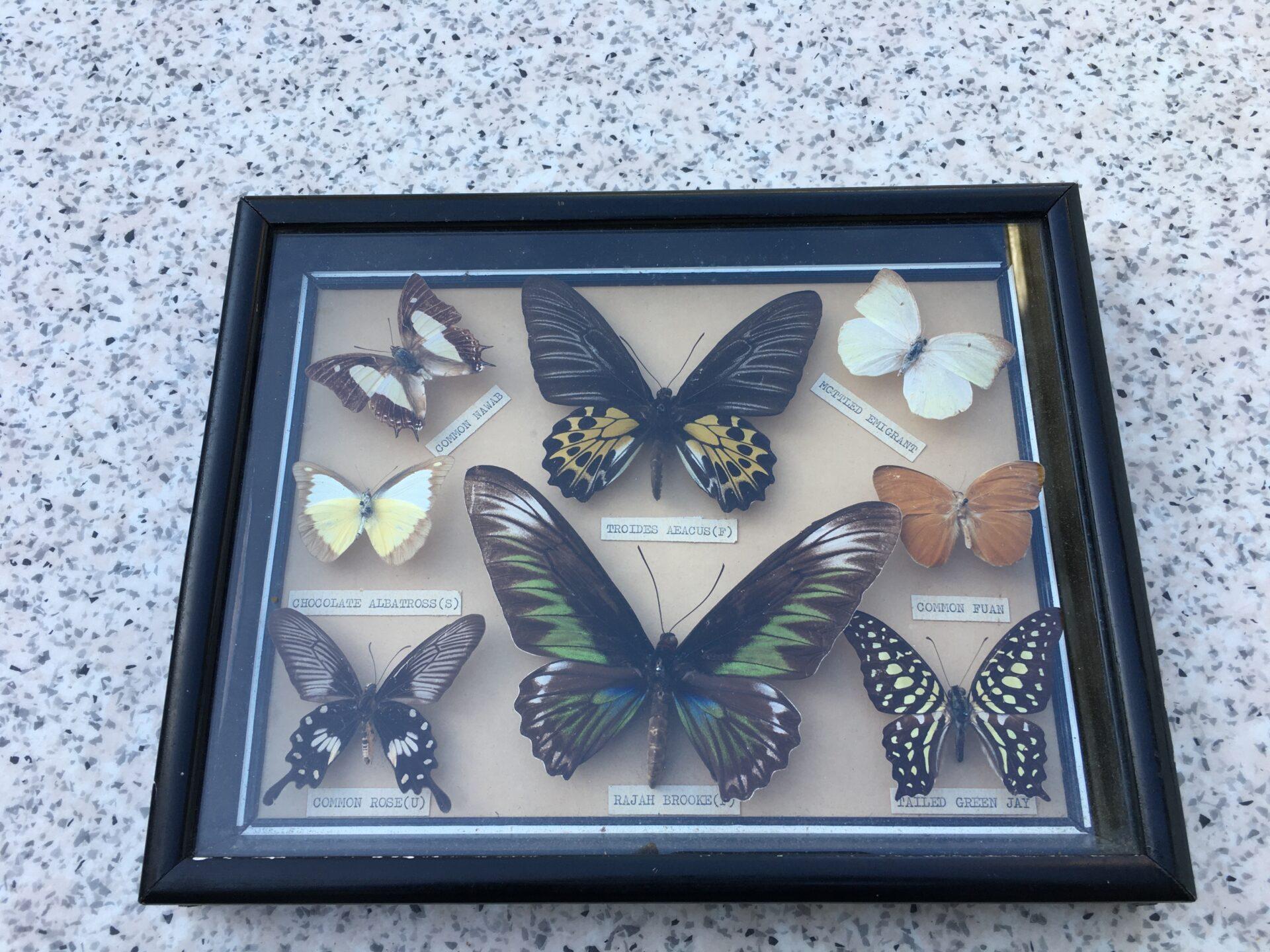 Samling sjældne sommerfugle i vitrine til ophæng (30x25x4 cm). Pris 400 kr