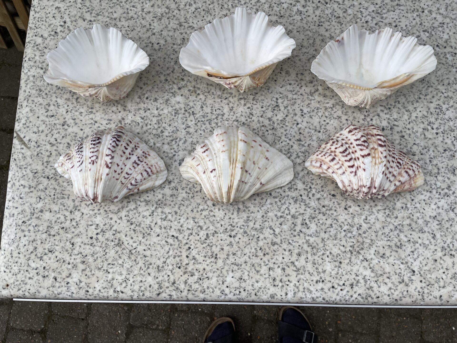 Store skaller fra en art Stillehavs kammuslinger, l= ca 20 cm, senest anvendt til rejecocktails.